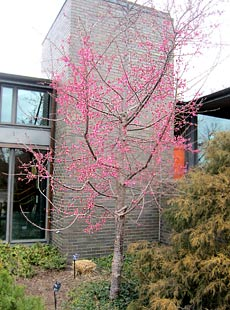 'First Lady' ornamental cherry tree