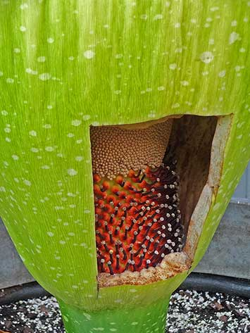 Corpse flower cut opening to show flowers at the base
