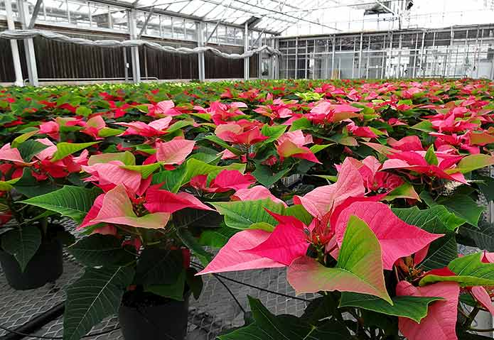 Poinsettias being grown in greenhouse of 2014 holiday show