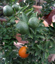 Greenzoo walks in a botanical garden in november and for Citrus myrtifolia
